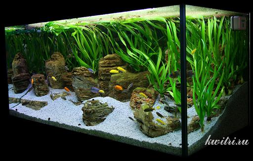 аквариумное растение кринум таиландский