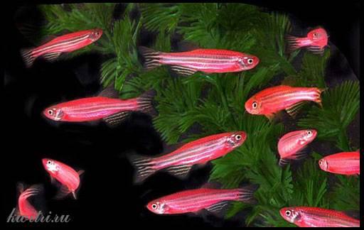 розовые полосатые рыбки