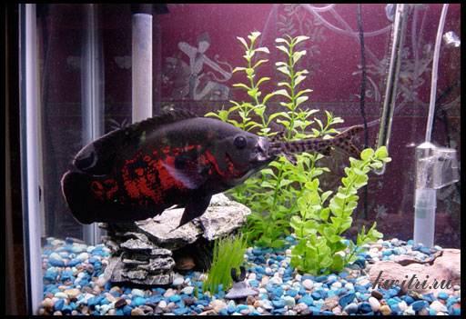 совместимость рыб