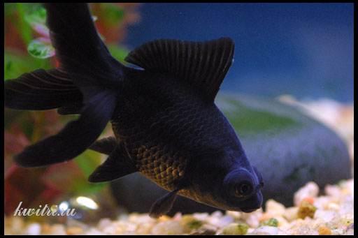 черный телескоп рыбка