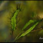 на растениях черные водоросли