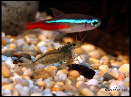 неоны аквариуные рыбки