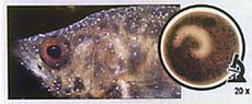 лечение аквариумных рыб