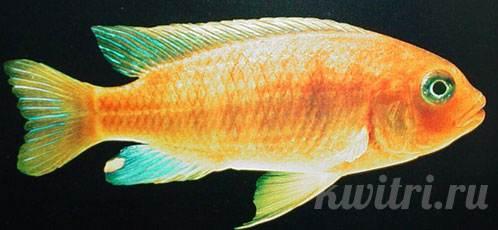 Pseudotropheus barlowi