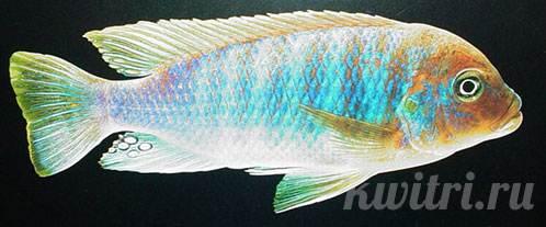Pseudotropheus greberi