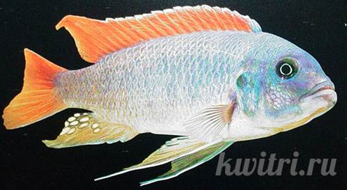 Pseudotropheus greshakei red top ice blue