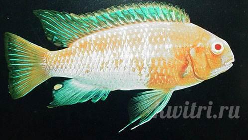Pseudotropheus macrophthalmus red hood albino