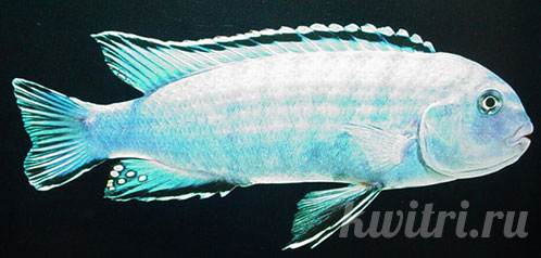 Pseudotropheus socolofi pindani