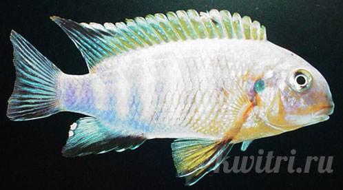 Pseudotropheus tropheus mbamba bay