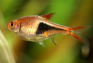 Расборы - аквариумные рыбки