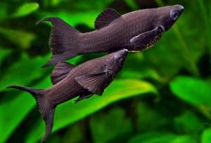Солоноватоводные аквариумы