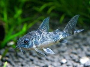 Способы общения аквариумных рыб