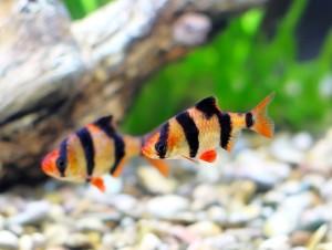 Запустить в аквариум рыбок