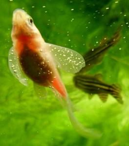 Газовая эмболия у рыб