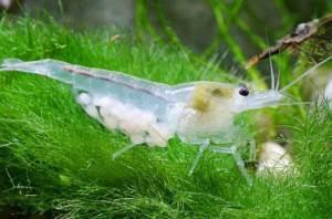 Голубые Жемчужные креветки