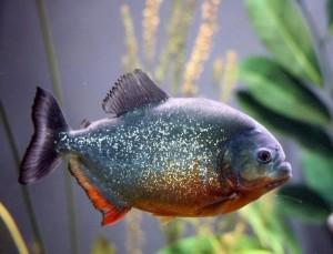 Шок у рыб