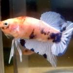 Гематомы на коже у рыб