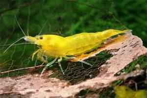 Креветки Желтые неокаридины
