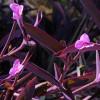 Традесканция пурпурная