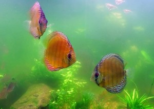Отравление рыб сероводородом N2S