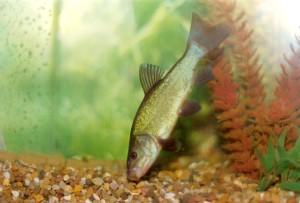 Отравление рыб металлами