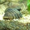 Аквариумный моллюск дрейссена