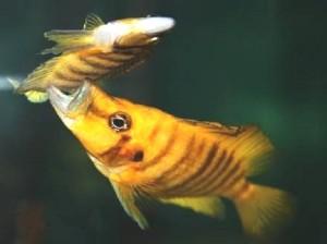 Отравление рыб нитритами