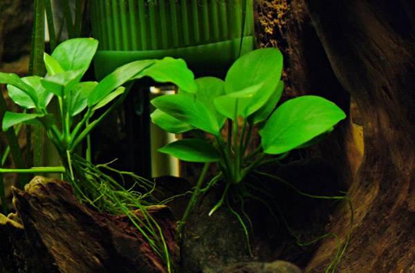 аквариумное растение3