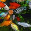 razmnozhenie-akvariumnyx-rybok-2