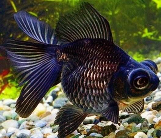 рыба-телескоп4