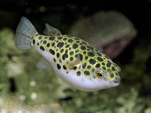 рыба-булыжник