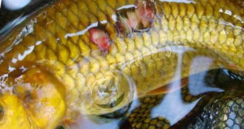 в водоеме рибу порожает грибок чем лечить отдыха Ейске ребенком