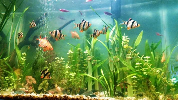 Barb-Aquarium2