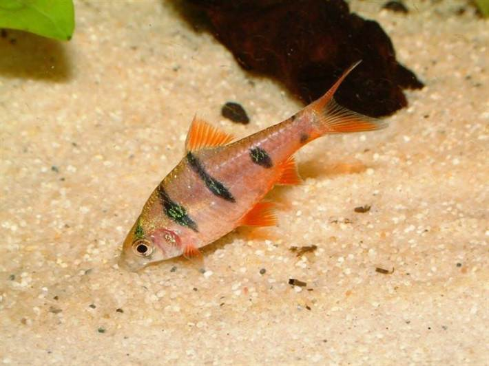 Five_Banded_Barb_1024x1024