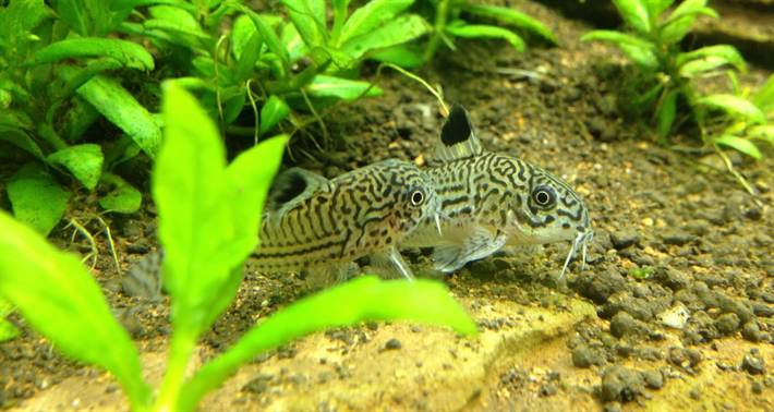 Julii-Corydoras-Corydoras-Leopard-Julii-Cory-Informaiton-caresheet-wiki-Julii-Corydoras-for-sale-and-where-to-buy-AquaticMag-e1419796921249