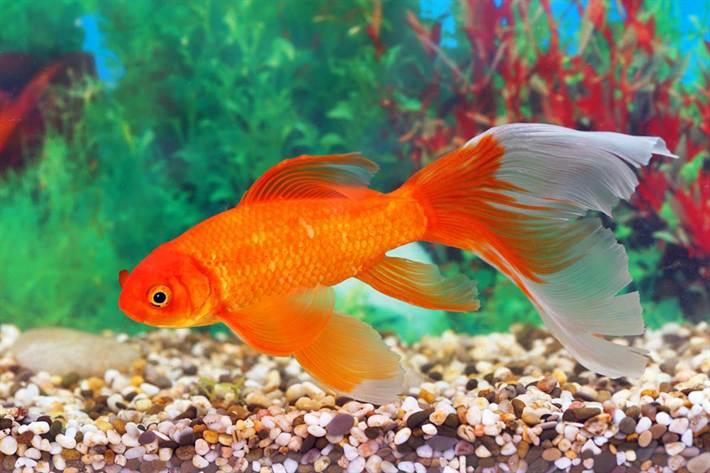 Золотые рыбки – одни из наиболее популярных обитателей аквариумов