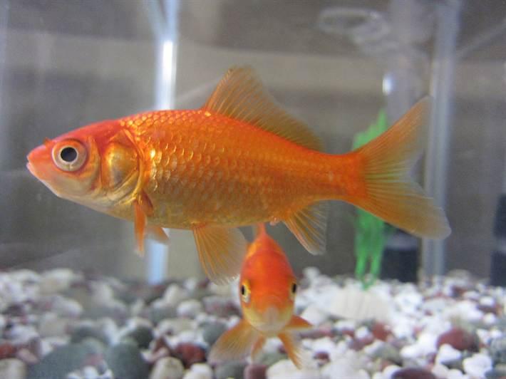 Изначально рыбки отличались от обычных китайских карасей только расцветкой