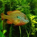 sunfish32
