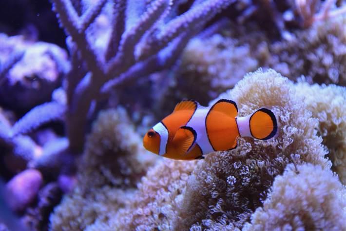 ryby-klouny