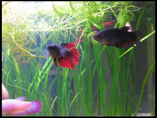 рыбки петушки размножение