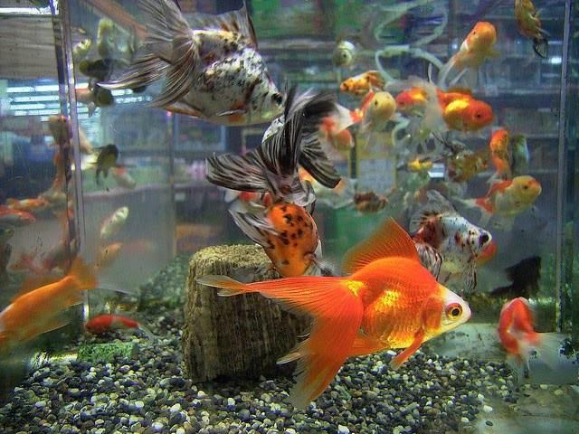 нерест золотых рыбок