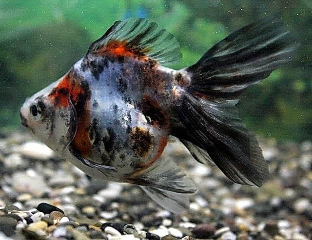 размножение золотых рыбок