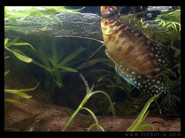 Trichogaster trichopterus trichopterus