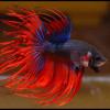 петушки аквариумные рыбки