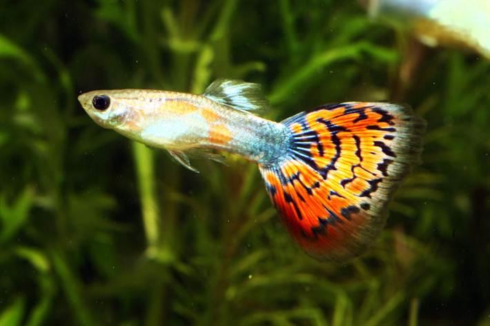 гуппи аквариумные рыбки