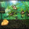 барбусы-в-аквариуме8080