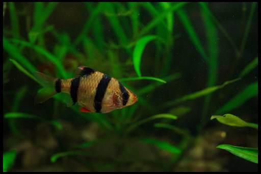 яркие аквариумные рыбки