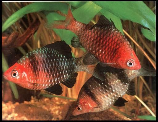 барбус рубиновый черный