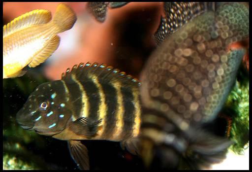 рыба гоблин содержание