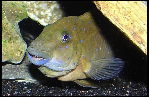 рыба-гоблин